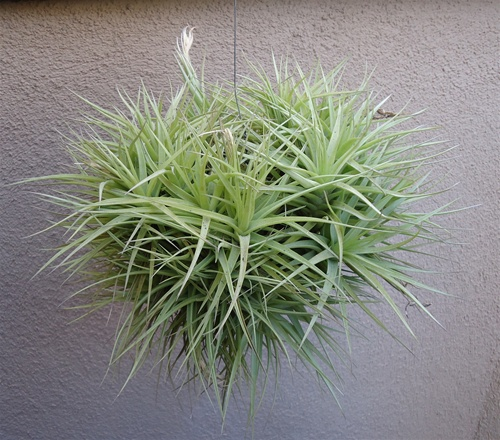 Tillandsia Bergeri Hybrid Hanging Clump Ball