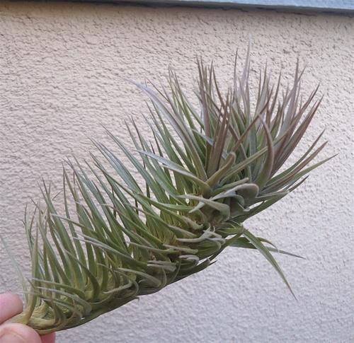 Tillandsia bergeri purple hybrid Tillandsia hybrids