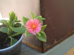 Baby Sun Rose Succulent Cutting