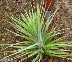 Large Tillandsia Caulescens