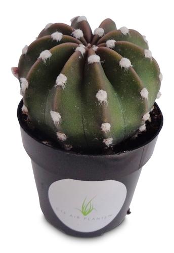 Domino Cactus-Echinopsis Dominos Echinopsis Dominos