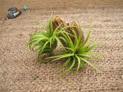 Tillandsia Ionantha Mexico 5 Pack