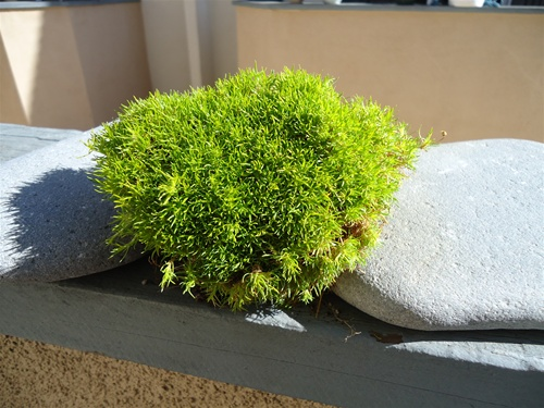 Live Scotch Moss