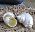 Pearlized Goldmouth Turbo Shells