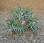 Tillandsia Stricta Hard Leaf