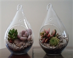 2 Pack Succulent Terrariums-Sm Tear Drop Terrariums W/ Plants