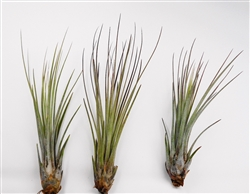 10 Pack Tillandsia Juncea Wholesale Air Plants