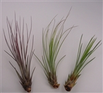 10 Pack Tillandsia Juncea Red-Green Wholesale Air Plants