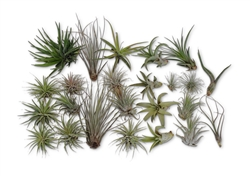 SALE 24 Pack Tillandsia Assortment Air Plants