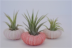 3 Pack Air Plant and Pink Urchin Kit