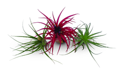 wholesale tillandsia