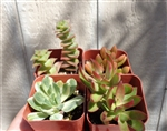 succulent collections,succulents