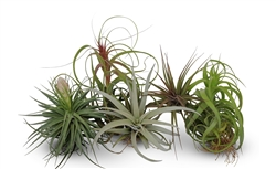 5 Large Assorted Tillandsia Collection Air Plants