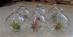 "6 Pack Mini 2"" Glass Plant Orb/Terrariums with Air Plants"