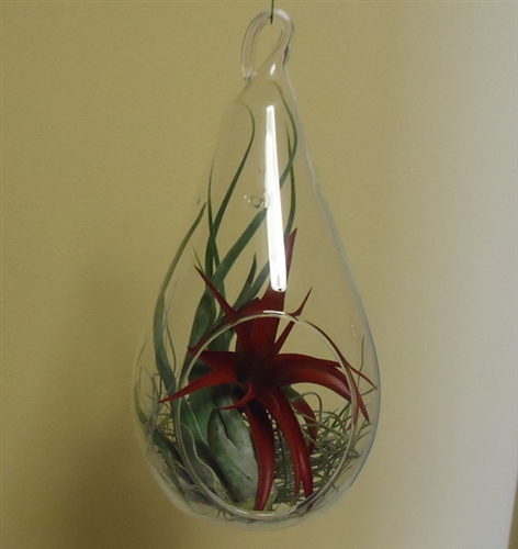 Large 7 25 Glass Tear Drop Plant Orb Terrarium With 3 Air Plants