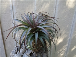 Tillandsia Abdita Red Giant
