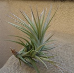 "Tillandsia Aeranthos Bronze ""Giant Form"""