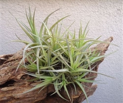 Tillandsia Aeranthos Bronze Clump.