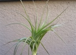 Tillandsia Araujei Closed Form