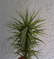 Tillandsia Arajuei Green Star