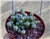 Large Baby Toes Succulent-Fenestraria Rhopalophylla