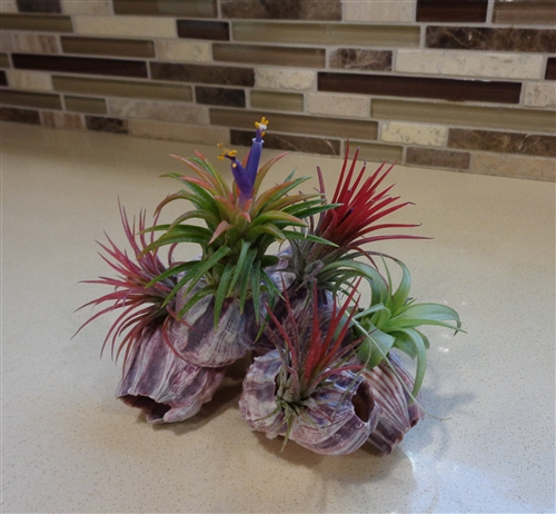 Air Plant And Purple Barnacle Kit Free Shipping