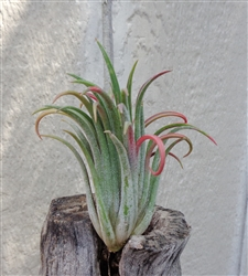 SALE Tillandsia Ionantha Big Boy Air Plants As Is