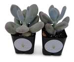 "Blue Moonstone Succulents Pachyveria Oviferum in 2"" pots"