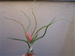 Bulbosa Belize