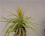 Tillandsia Concolor