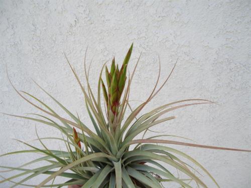 Large Tillandsia Concolor x Fasciculata