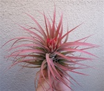 Tillandsia Concolor x Ionantha Select Red