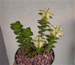 Variegated String of Buttons-Crassula Perforata Variegata
