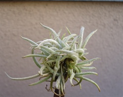 Tillandsia Crocata Clump
