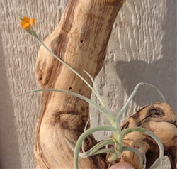 Tillandsia Crocata Copper Penny
