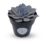 "Blue Echeveria Peacockii Succulents 4"" Pot"