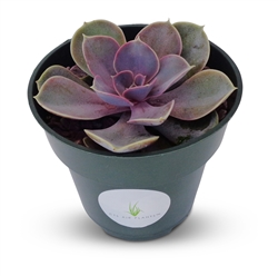 "Echeveria Perle Von Nurnberg Succulents in 4"" Pot"