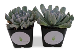 "Echeveria Topsy Turvy Succulents in 2"" Pots"