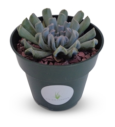 "Echeveria Topsy Turvy Succulents 4"" Pot"