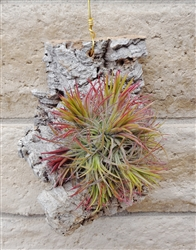 Tillandsia Ionantha Fuego Specimen Mounted on Hanging Cork Bark Slab