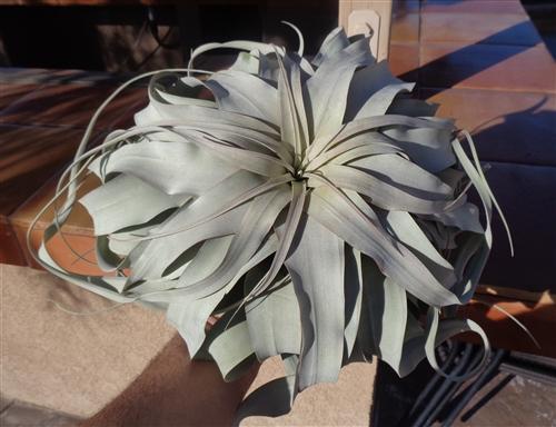 Giant Tillandsia Xerographica 13 16 Air Plants