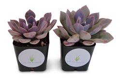 "Graptoveria Debbie Succulents in 2"" Pots"