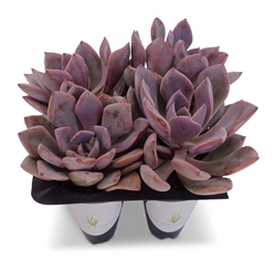 Graptoveria Debbie Succulents 4 Pack in Cell Liners