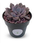 Graptoveria Debbie Succulents