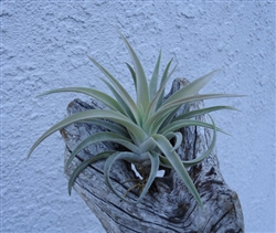 Medium Tillandsia Harrisii