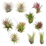 10 pack Assorted Tillandsia Ionantha