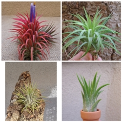 Tillandsia Ionantha Assorted 3 Pack