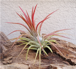 Mini Tillandsia Ionantha Fuego Air Plants