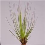 Tillandsia Juncea Red-Green