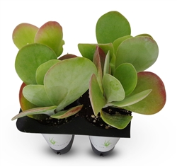 Kalanchoe Flapjacks Succulents Kalanchoe Thrysiflora 4 Pack in Cell Liners